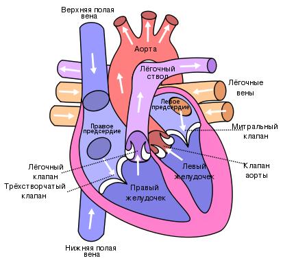 Что такое эндокард миокард эпикард